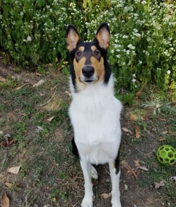 AKC Tri Color Smooth Collie  Listing Image