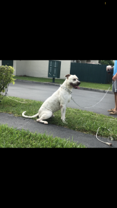White spotted American Bulldog Listing Image