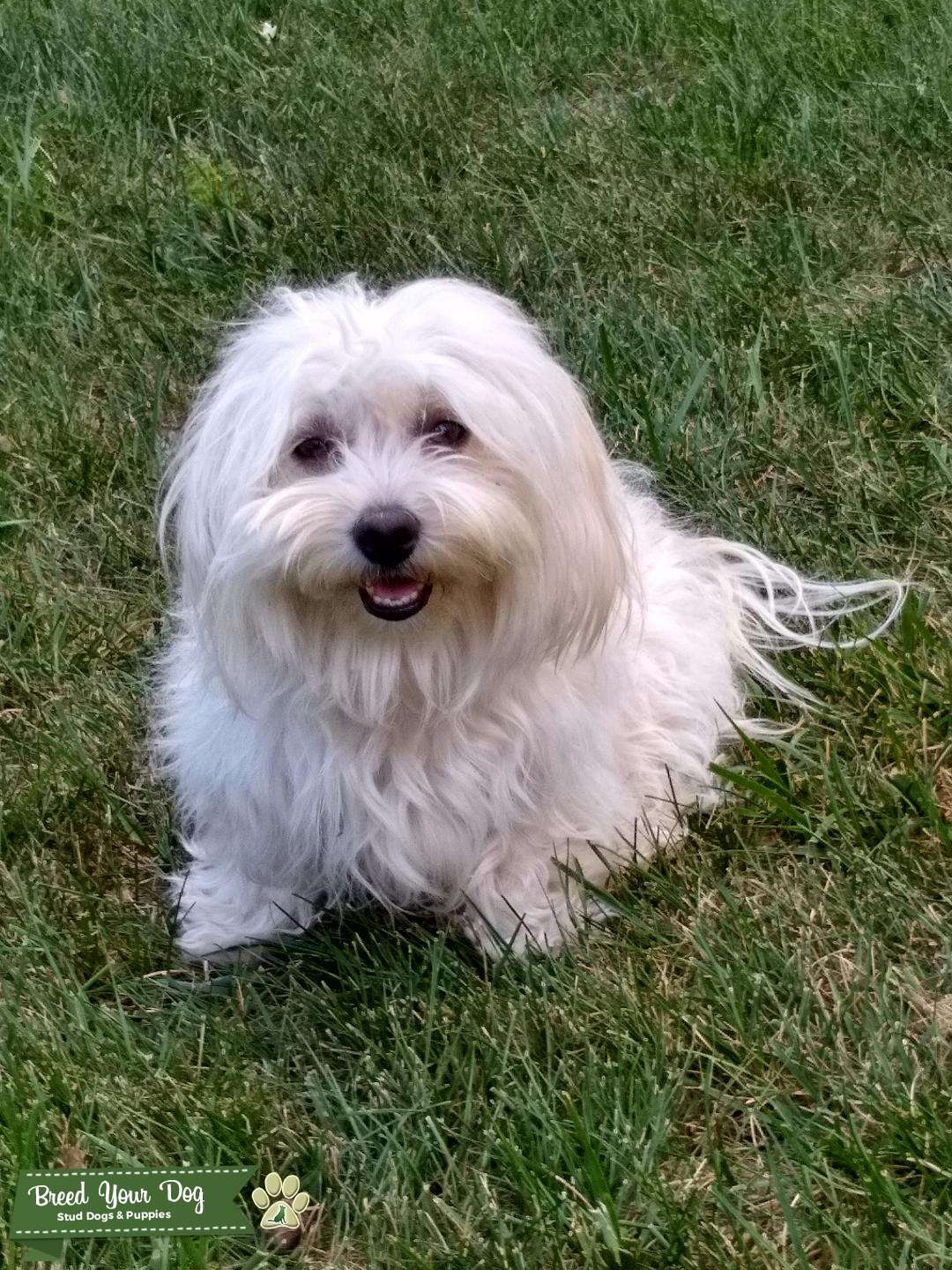 Coton de Tulear female looking for male to breed with Listing Image Big