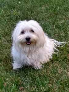 Coton de Tulear female looking for male to breed with Listing Image