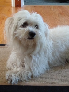 Coton de Tulear female looking for male to breed with Listing Image Thumbnail