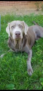Silver Labrador Retreiver  Listing Image