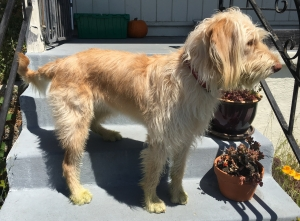Female F1 Labradoodle needs a male labradoodle or poodle Listing Image
