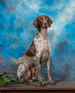CH GSP STUD - AMERICAN AND GERMAN LINES Listing Image