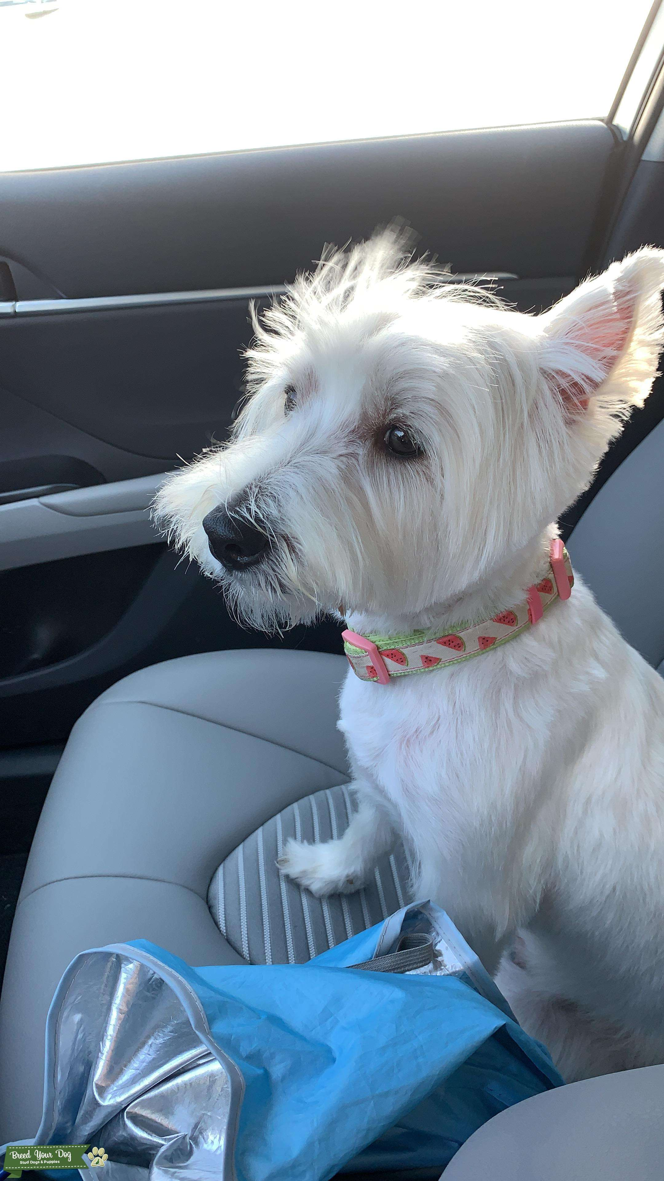 Beautiful and Sweet Westie  Listing Image Big