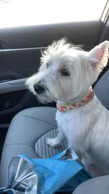Beautiful and Sweet Westie  Listing Image