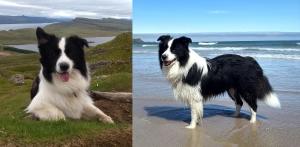 Beautiful Border Collie Long Coated - Stud Dog Listing Image