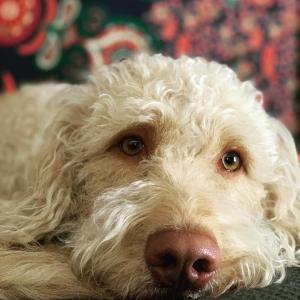 Beautiful Goldendoodle Listing Image