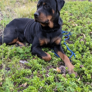 Rottweiler at Stud Listing Image
