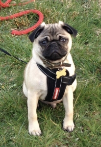 Fawn beautiful pug stud mother kc reg from champion line however dad is not kc reg but carries silver gene Listing Image