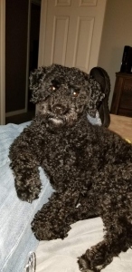 Schnoodle looking for love Listing Image