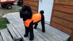 Black Standard Poodle  Listing Image