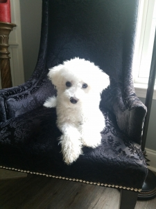Male bichon frise for stud Listing Image