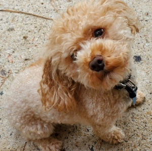 Teacup/toy poodle Listing Image