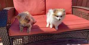 Pomeranian/chihuahua Listing Image