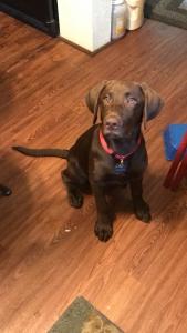 Hunting Dog Listing Image