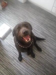 American charcoal Labrador Listing Image