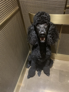 AKC Large Poodle Stud Listing Image
