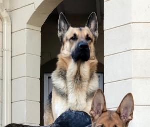 German Shepherd Listing Image