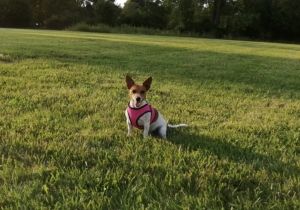 Looking for a male Jack Russell to breed Listing Image