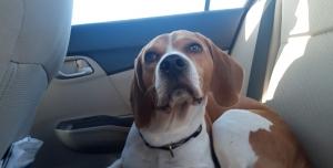 Golden beagle stud  Listing Image