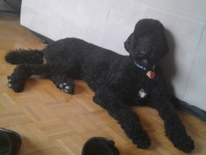 Poodle Stud Dogs Available Now Breed Your Dog