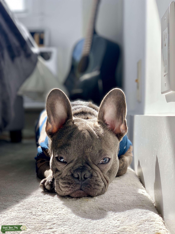 Blue Brindle French Bulldog  Listing Image Big