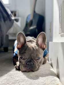 Blue Brindle French Bulldog  Listing Image