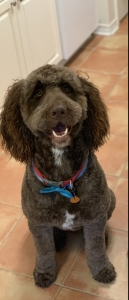 F1 Handsome Labradoodle Listing Image Thumbnail