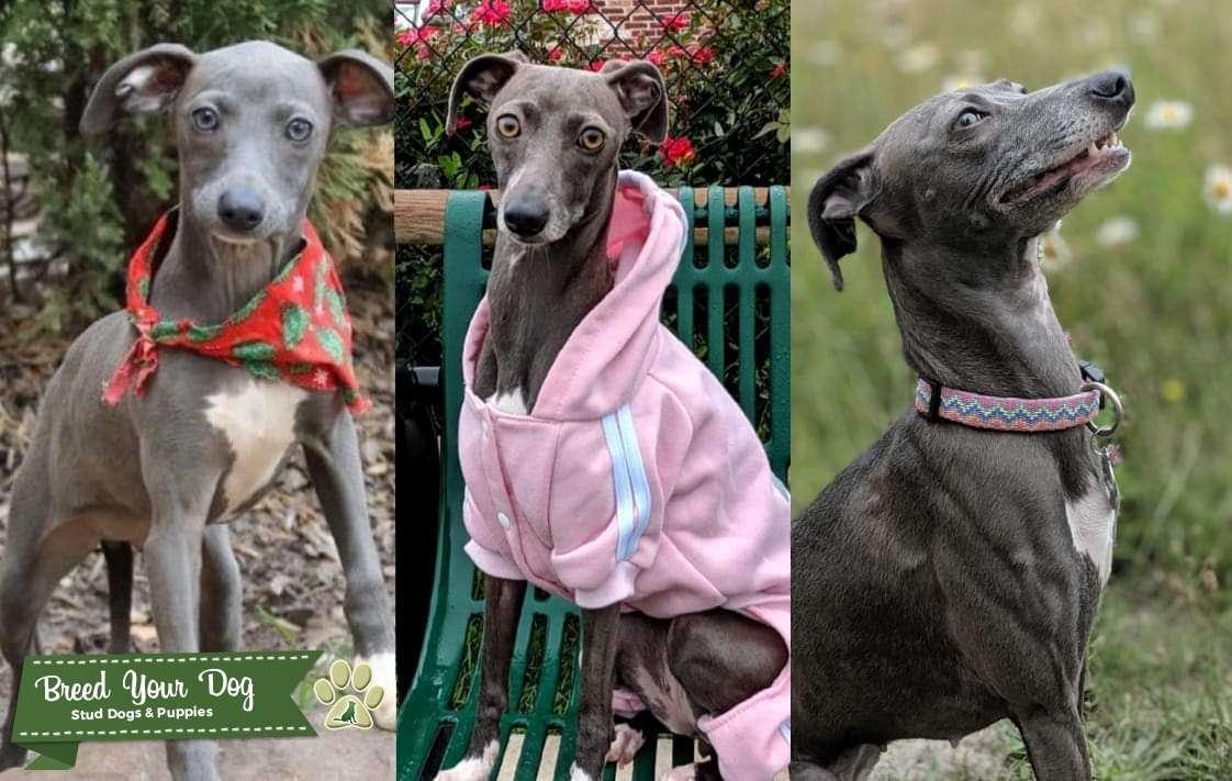 Blue Female Italian Greyhound  ACA registered-Looking for a stud Listing Image Big