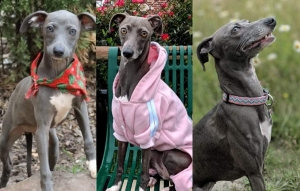 Blue Female Italian Greyhound  ACA registered-Looking for a stud Listing Image