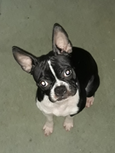 Boston terrier  female Listing Image