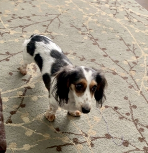 Piebald mini long hair dachshund looking for stud Listing Image