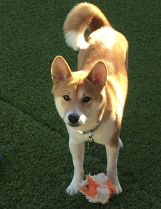 Shiba Inu male available for stud Listing Image