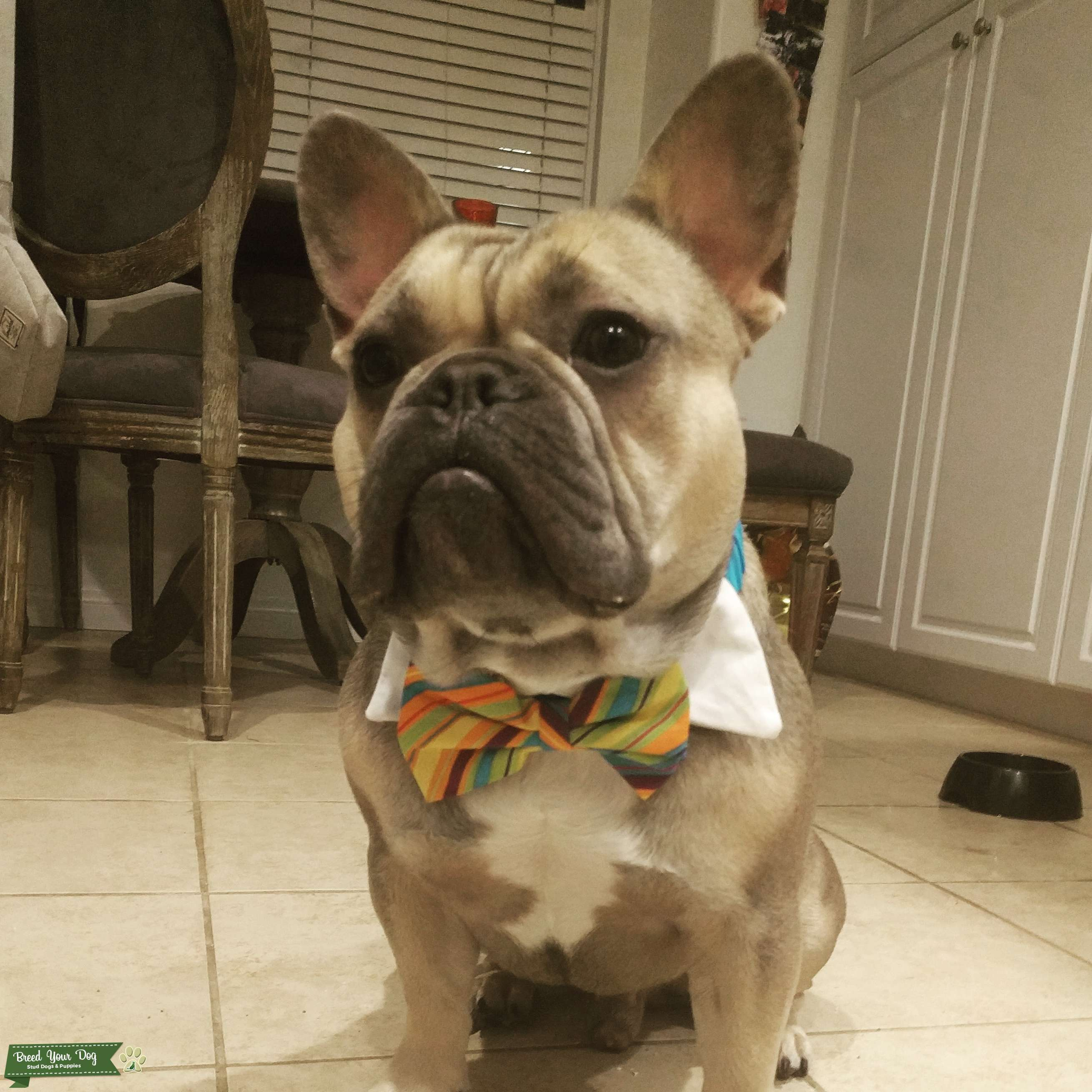 AKC blue Fawn Frenchie- genetic testing done Listing Image Big