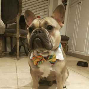 AKC blue Fawn Frenchie- genetic testing done Listing Image