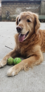 Handsome Golden Retriever  Listing Image Thumbnail