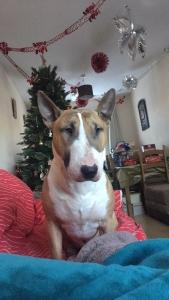 English bull terrier stud  Listing Image