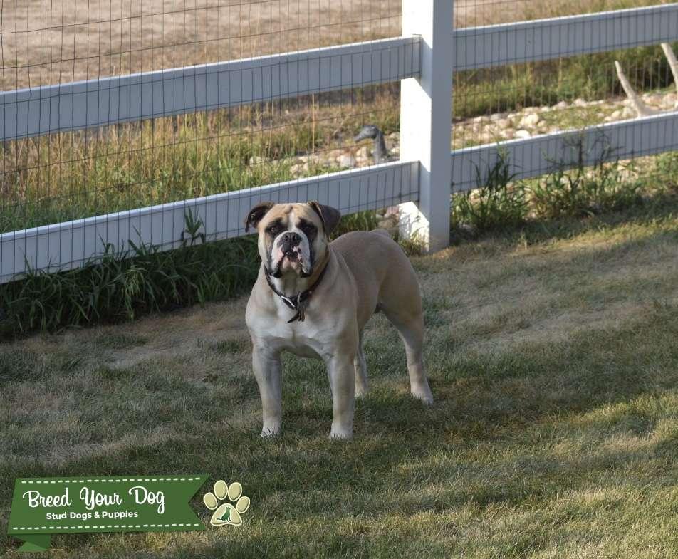 Fawn Old English Bulldog Stud Listing Image Big