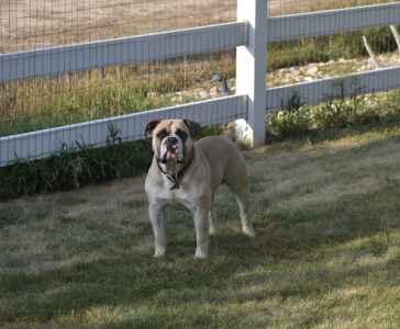Fawn Old English Bulldog Stud Listing Image