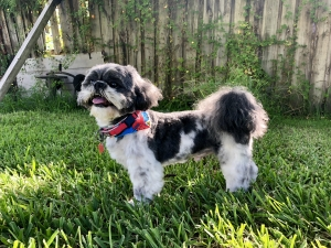 Shih tzu stud looking for girlfriend  Listing Image