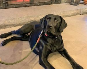 Pure Bred Black Labrador Retriever Stud $800.00 Listing Image