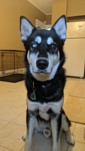 Male Malamute Mix Listing Image