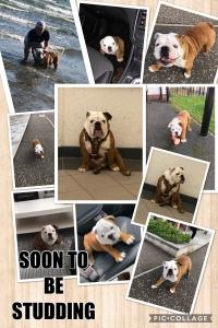 British bulldog for stud  Listing Image