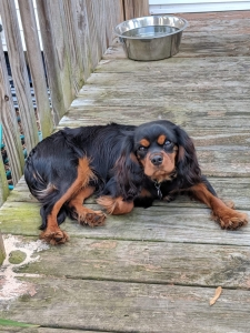 Black and Tan Cavalier King Charles Spaniel Listing Image