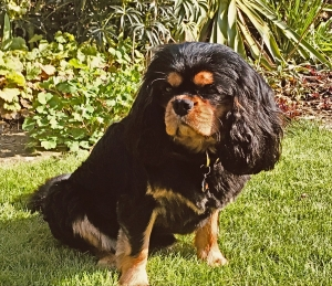 Stud dog services: Health-tested Black & Tan Cavalier Boy Listing Image