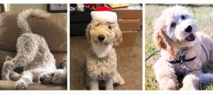 For Stud: Health tested / Canine Good Citizen Goldendoodle Listing Image