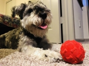Male Mini Schnauzer Looking For Female  Listing Image