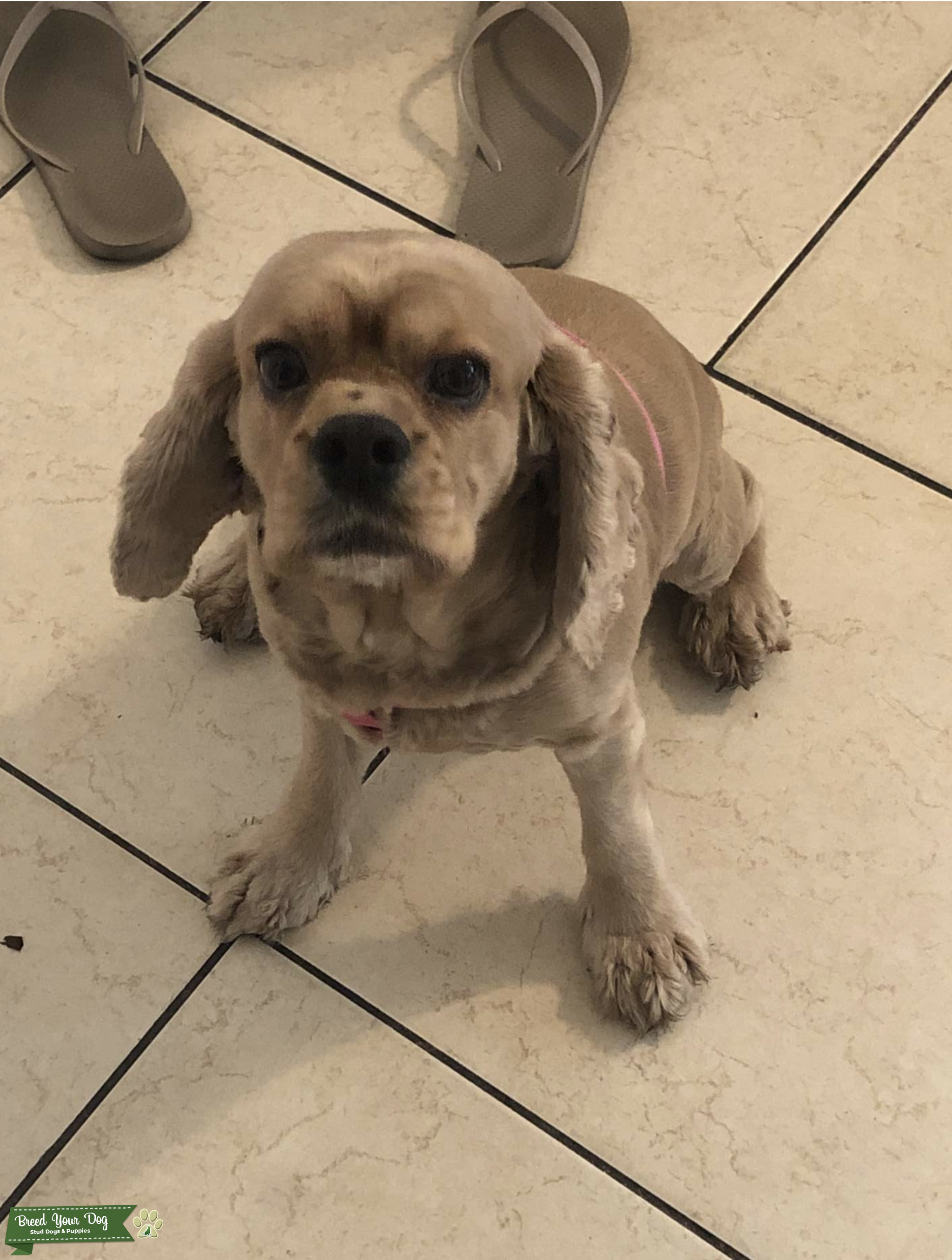 Female American Cocker Spaniel Looking For Stud Listing Image Big