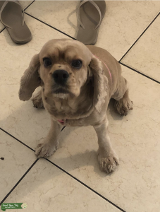 Female American Cocker Spaniel Looking For Stud Listing Image